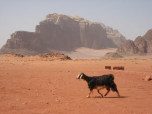 A goat walking across the desert near Wadi Rum in Jordan.