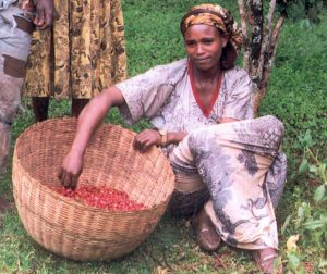 A woman gathers coffee beans in a large woven basket